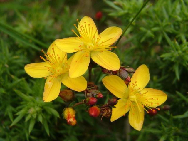 Βαλσαμόχορτο το θεραπευτικό βότανο
