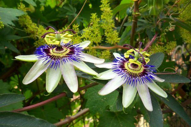 Τι είναι το βότανο Πασιφλόρα (passiflora)